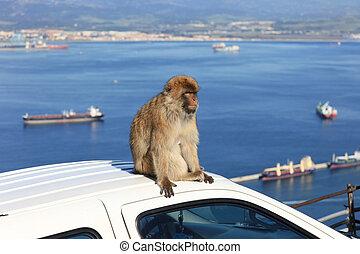 Gibraltar - Barbary Ape on Gibraltar