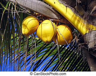 Coconuts - TOMAN, R. - MAY, 10. Three coconuts on the palm....