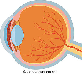 eye anatomy vector illustration (anatomy of the eye,...