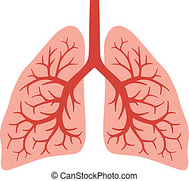 human lungs (bronchial system) - human lungs (bronchial...