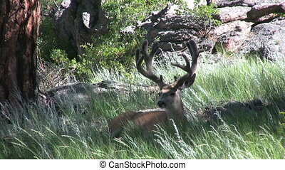 Mule Deer Buck in Velvet - a mule deer buck in velvet bedded...