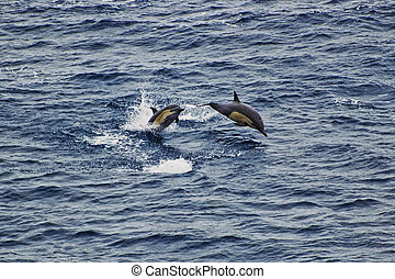 Breaching Common Dolphins