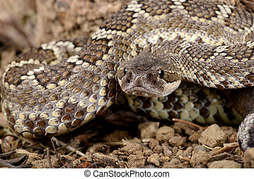 Southern Pacific Rattlesnake - Closeup of a Southern Pacific...