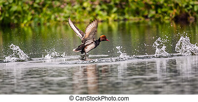 Red-crested Pochard, bird, Diving duck, Rhodonessa rufina,...