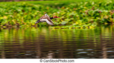 Red-crested Pochard,migratory, bird, Diving duck, Rhodonessa...