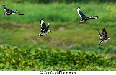 Cotton Pygmy-goose, Nettapus coromandelianus, migratory...