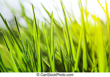 Fresh green grass in sunshine - Fresh green grass with water...