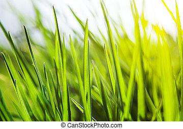 新鮮, 綠色, 草, 陽光