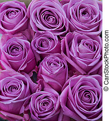 Purple roses - Bunch of purple rose flower heads