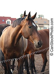 Brown horse standing behind the electric fence - Brown horse...