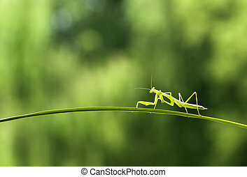 Falling branch of the mantis