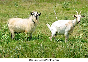 A billy (aka buck) and a nanny (aka doe) goat in comedy...