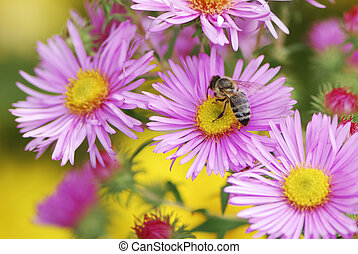 Honeybee - Bee collecting pollen on a aster flower