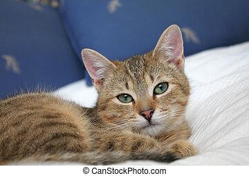 atigrado, gato