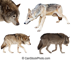 Set of few wolves over white background