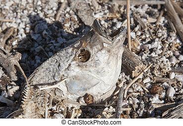 Salton sea Dead fish - Dead fish and bones on the shore of...