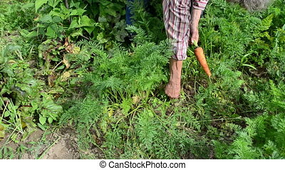 old woman harvest carrot