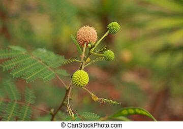 Acacia, flores