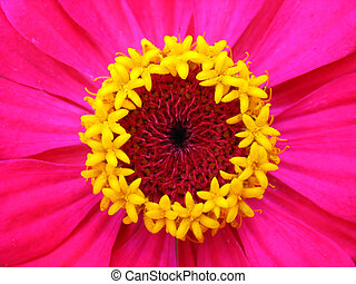 Yellow stamens of crimson zinnia. Macro