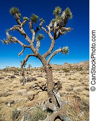 Big joshua Tree