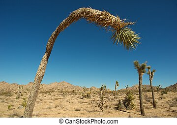 curved Joshua Tree