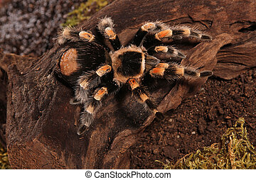 Mexican Redknee spider