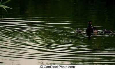 Duck family in the fishing training in Mogan Lake of...