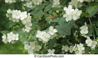 Flower Jasmine - Flower of Jasmine