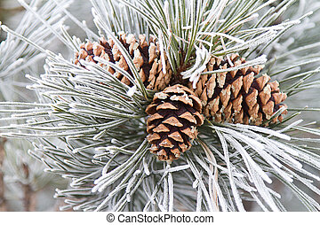 Frosted Pine Cones & Needles - Close up of frosted ponderosa...