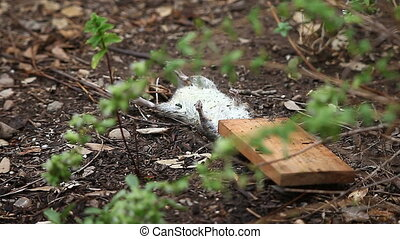 dead rat in the garden - a rat killed by a trap is found by...