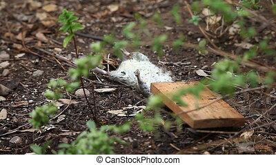 dead rat in the garden