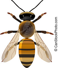 golden bee - vector symetrical bee on white background,...