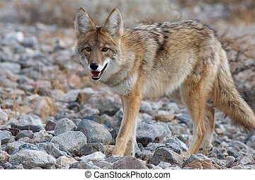 coyote strolling through  death valley