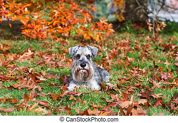 cute miniature schnauzer outdoors - cute miniature schnauzer...