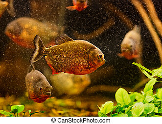 Red piranha (Serrasalmus nattereri) swimming underwater
