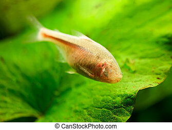 Blind Cave Fish or Mexican Tetra (Astyanax fasciatus...