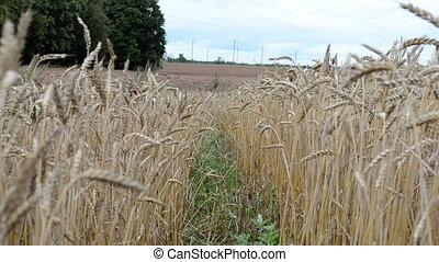 ripe wheat plowed field - ripe wheat move in wind near...