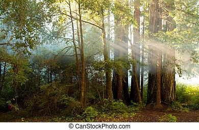 sol, rayo, venida, por, bosque