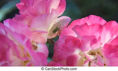 katydid on a rose