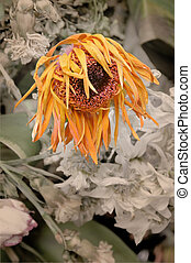 Drying flower - Large orange flower withering and drying up
