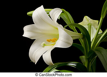 Easter Lily Blossom - Easter lily with a large blossom on a...
