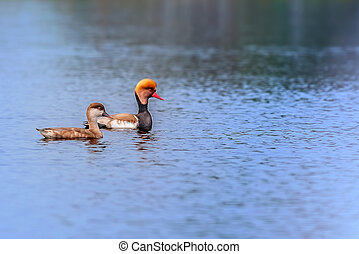 Red-crested Pochards,migratory, bird, Diving duck,...