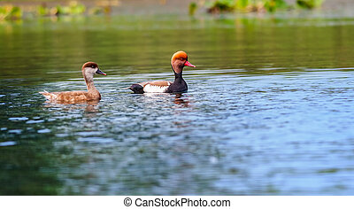 Two Red-crested Pochards,migratory, bird, Diving duck,...