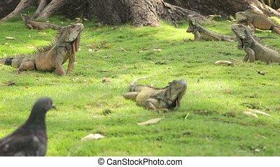 iguana %u2013 Timelapse walking around