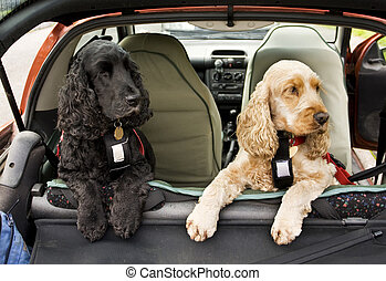 Cocker Spaniel dogs - black and golden Cocker Spaniel dogs...