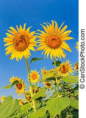 sunflower against blue sky