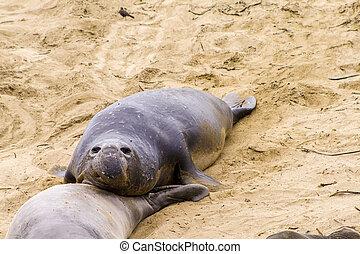 sea lions at the beach in San Simeon, California