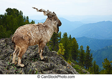 Markhor in wildness area - Markhor Capra falsoneri in...