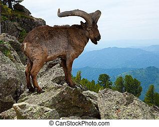 East Caucasian tur in wildness - East Caucasian tur (Capra...