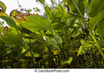 beautiful broad lush leaf plants - Close beneath view of a...